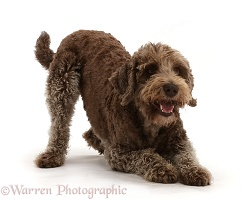 Labradoodle in play-bow