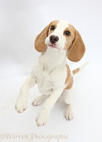 Orange-and-white Beagle pup, jumping up