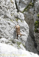 Apennine Chamois descending a vertical cliff face