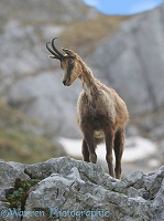 Abruzzo Chamois in spring moult on a rocky ledge