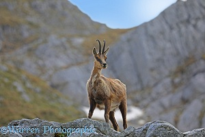 Apennine Chamois in spring moult on a rocky ledge