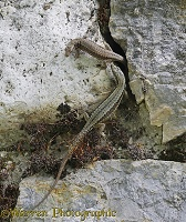 Common Wall Lizards sharing a rock crevice