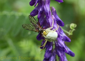 Crab spider (Misumena vatia) with snipe fly prey