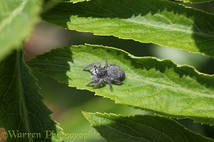Jumping spider (Philaeus chrysops) female
