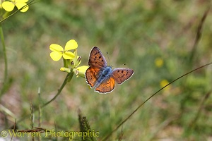 Purple Shot Copper butterfly