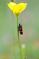 Red and black frog hopper on buttercup stem