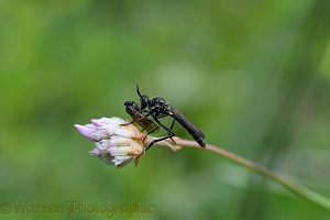 Robber fly (Dioctria atricapilla) with prey