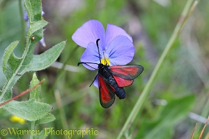 Transparent Burnet moth on a pansy