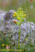 Yellow Rattle