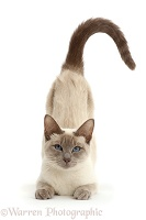 Blue-point Birman-cross cat, arching back to be stroked