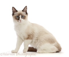 Ragdoll kitten, 4 months old