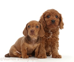 Red Dachshund puppy and Cavapoo puppy