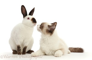 Ragdoll kitten and Sable point rabbit