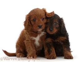 Cavapoo puppies, 7 weeks old