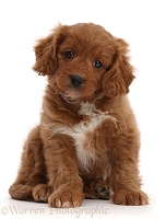 Cavapoo puppy, 7 weeks old, sitting