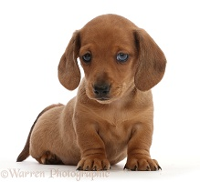 Red Dachshund puppy