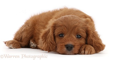 Cavapoo puppy, 7 weeks old, lying with chin on floor