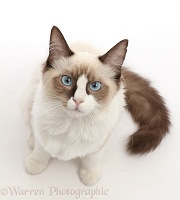 Ragdoll kitten, 4 months old, sitting and looking up