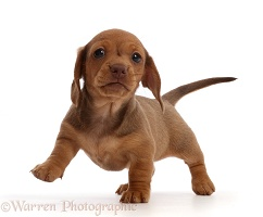 Red Dachshund puppy walking
