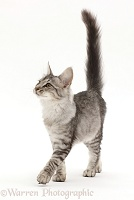 Mackerel Silver Tabby cat, walking with tail up