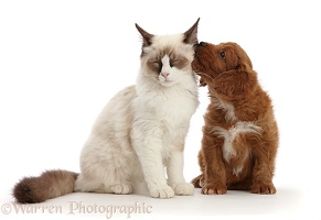 Ragdoll kitten, with Cavapoo puppy