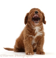 Cavapoo puppy, 7 weeks old, sitting and yawning