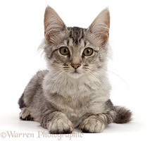 Mackerel Silver Tabby cat, lying with head up