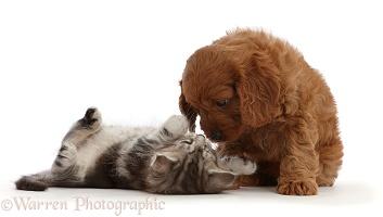 Cavapoo puppy and silver tabby kitten