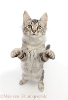 Mackerel Silver Tabby cat, standing up with raised paws
