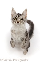 Mackerel Silver Tabby cat, standing up and looking up