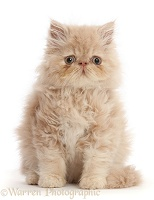 Persian kitten, sitting