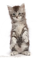 Silver tabby kitten, with raised paws