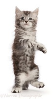Silver tabby kitten, standing up as if walking on hind legs