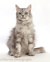 Silver tabby cat, sitting