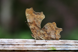 Comma butterfly at rest on a dried Hogweed stem