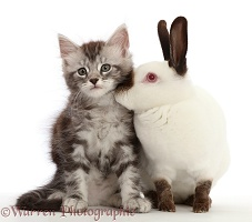 Silver Tabby kitten and Sable point rabbit