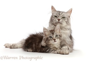 Silver tabby cat, with kitten