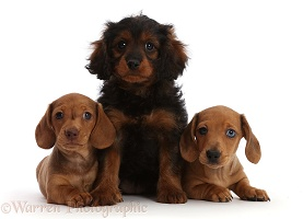 Red Dachshund puppies and Cavapoo puppy