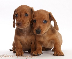 Two Red Dachshund puppies