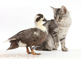 Mackerel Silver Tabby cat and Call Duck