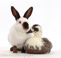 Sable-point rabbit and Call Duck