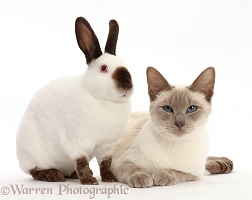 Blue-point Birman-cross cat and Sable point rabbit