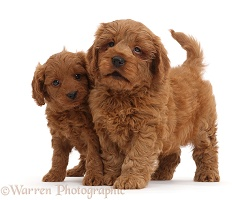 Two red Cavapoo puppies