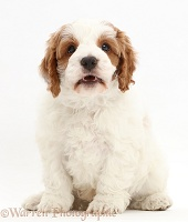 Red-and-white Cavapoo puppy