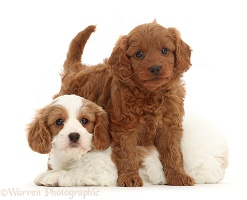 Two Cavapoo puppies
