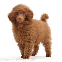 Red Poodle puppy, standing