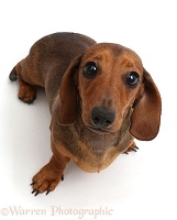 Dachshund sitting looking up