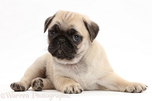 Pug puppy, lying with head up