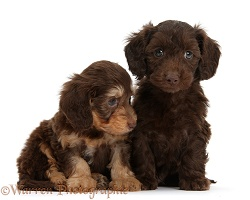 Two cute Daxiedoodle pups
