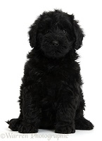 Cute black Toy Goldendoodle puppy